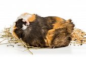 stock photo of guinea pig  - Portrait of a guinea pig that eats hay and feed on a white background - JPG