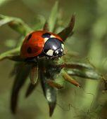 pic of ladybug  - Red ladybug in garden on green leaf twig  - JPG