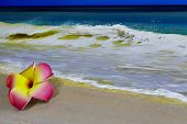 pic of plumeria flower  - A pink and yellow Hawaiian Flower Plumeria laying on sand with waves in background and shallow depth of field - JPG