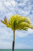 stock photo of stiff  - A Royal Palm Tree in stiff trade winds on the beach in Honolulu - JPG
