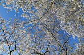 pic of canopy  - Low angle view of a Cherry Blossom tree canopy - JPG