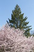 image of cherry trees  - A Cherry Blossom Sakura tree with a green tree in the background - JPG