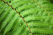picture of fern  - Beautyful leaf of fern  - JPG