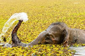 image of bathing  - An elephant sprays herself while bathing in the river - JPG