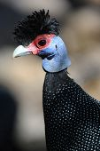 stock photo of sub-saharan  - The Crested Guineafowl  - JPG