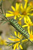 image of yellow flower  - bright caterpillar of papilio machaon linnaeus on a background of yellow flowers - JPG