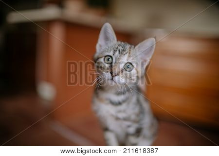 poster of European cat portrait. Portrait of beautiful cat. Cute three color cat. European short haired cat. Portrait of tricolor kitten. Cute cat.