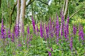 stock photo of digitalis  - Foxgloves  - JPG