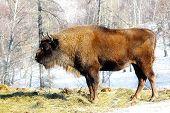 pic of aurochs  - Big wild bison in the winter forest - JPG