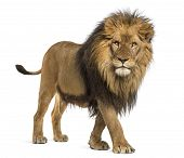 Side view of a Lion walking, looking at the camera, Panthera Leo, 10 years old, isolated on white poster