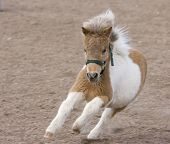 stock photo of shire horse  - This miniature horse is running around the pasture - JPG
