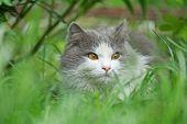 Grey Cat Playing In Garden. Cat In The Garden poster