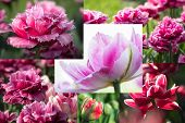 Collage Of Beautiful Pink Tulips. Flower Collage. poster