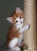 Little Cute White-red Kitten Sharpens Claws Near The Jute Scraper On A Neutral Background poster