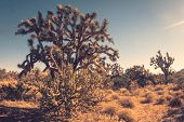 Joshua Tree cactus in Coachella near Palm Springs, CA, desert landscape. poster