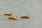 Grey Teals Are Dabbling Ducks Found In Open Wetlands Of Australia And New Zealand - Busselton, Wa, A poster
