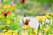 A Closeup Of Rufous Hummingbird Hovering Near The Flower.     Burnaby Lake Bc Canada poster