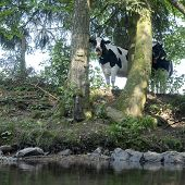 Black And White Cow Looks Curiously Down From Meadow At Stream Through Trees In Belgian Ardennes Reg poster