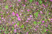 Fallen Bright Pink Rosehip Flowers On Ground With Rare Green Grass After Rain. Wild Field And Scatte poster