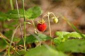 Red Fragaria Or Wild Strawberries. Wild Strawberry. Growing Organic Wild Strawberry. Ripe Berry Fore poster