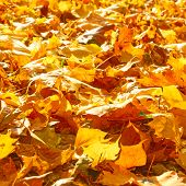 Yellow fallen maple leaves on the ground in the autumn park on sunny day poster