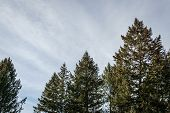 Evergreen Pine Trees Against The Sky On A Sunny Day. poster