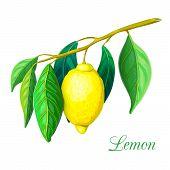 Lemon Tree Branch With Yellow Lemon And Green Leaves Isolated On White. Lemon Plant Illustration. Ve poster