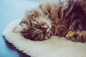 Adorable Sleeping Cat. Grey Kitty Takes A Nap. The Cat Is Lying On White Fluffy Blanket. Cuteness, I poster