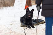 Black German Shepherd Obediently Sitting In The Winter On Training poster