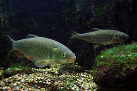 picture of freshwater fish  - underwater scenery showing two fishes in freshwater ambiance - JPG
