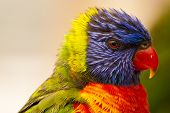 picture of lorikeets  - Close up of the very colorful and vibrant rainbow lorikeet bird from Australia - JPG