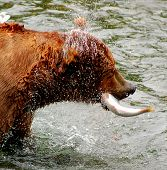 stock photo of upstream  - Alaskan grizzly catching salmon as they swim upstream.