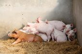 pic of mammary  - piggy in a pen in a farm - JPG