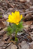 image of adonis  - Yellow Adonis in spring forest on background of leaves Russia - JPG