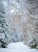 Beautiful Snowy Lane In Winter Forest