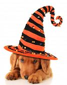 stock photo of submissive  - Cute puppy wearing a Halloween witch hat - JPG
