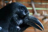 picture of caw  - Portrait of a black Raven. Smart bird.