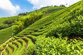 image of cameron highland  - Green tea garden on the hill - JPG