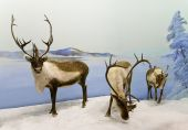 stock photo of caribou  - A family of caribou pause during winter in Saskatchewan Canada - JPG