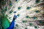 Splendid peacock with feathers out (Pavo cristatus) (shallow DOF; color toned image)