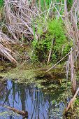 pic of cattail  - This wetland swamp is filled with duckweed and cattails - JPG