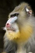 picture of nostril  - Portrait view of an adult male mandrill - JPG