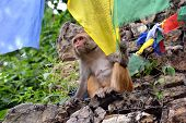 Monkey Playing With Buddhist Prayer Flag