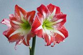 Beautiful Flowers Amaryllis Bloom In Spring