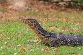 pic of monitor lizard  - Asian water monitor lizard on the ground - JPG