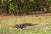 foto of monitor lizard  - Asian water monitor lizard on the ground - JPG