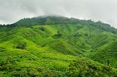 pic of cameron highland  - View of the Tea plantation - JPG