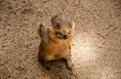 stock photo of gopher  - Gopher in a zoo in Barcelona - JPG