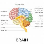 foto of neurology  - vector illustration of diagram of human brain anatomy - JPG