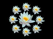foto of water lilies  - Wreath of water lily on black background - JPG